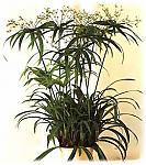 Нажмите на изображение для увеличения Название: cyperus.jpg Просмотров: 33 Размер:26.1 Кб ID:131253