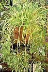 Нажмите на изображение для увеличения Название: hlorofitum.jpg Просмотров: 39 Размер:25.5 Кб ID:131259