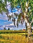 Нажмите на изображение для увеличения Название: Деревня,пгеница,поле,берёза.jpg Просмотров: 1 Размер:107.8 Кб ID:649239
